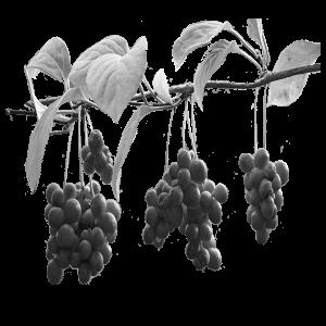 schisandrafruit
